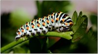 Chenille de papilio machaon