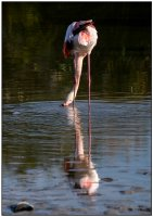 Flamant rose boudeur